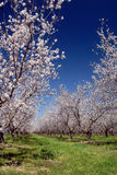 White Almond Blossoms Royalty Free Stock Photos