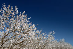 White Almond Blossoms Stock Photography