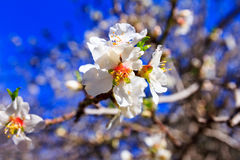 White almond blossoms against the blue sky. Macro Royalty Free Stock Images