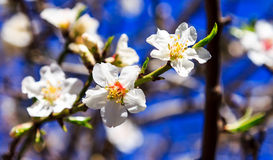 White almond blossoms against the sky. Panorama -macro Stock Photography