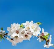 White almond Royalty Free Stock Image