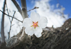 White almond flower closeup Stock Photography