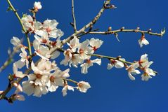 White Almond Flower in Majorca Royalty Free Stock Photos