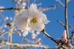 White almond flower Stock Photo