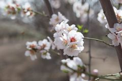 White Almond tree flowers focus over blurred branches background early spring seasonal plant blooming. Natural day light Royalty Free Stock Photography