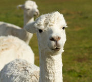 A white Alpaca. An alpaca resembles a small llama in appearance and their wool is used for making knitted and woven items such as blankets, sweaters, hats Royalty Free Stock Photo