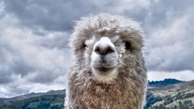 Free White Alpaca Royalty Free Stock Photo - 61689995