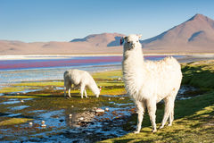 White alpaca, Altiplano, Bolivia. Royalty Free Stock Photo