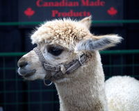 White Alpaca Royalty Free Stock Photos
