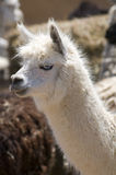 White Alpaca with Blue Eyes Stock Image