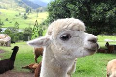 Adorable white Alpaca in close up Royalty Free Stock Images