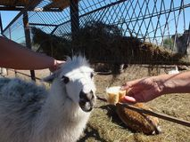 White alpaca. A close up image of an alpaca Royalty Free Stock Photo