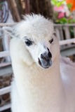 White alpaca Royalty Free Stock Photography