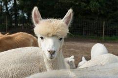 White alpaca Royalty Free Stock Photos