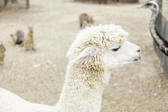 White alpaca Stock Photos