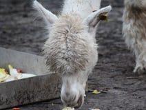 White Alpaca eating Stock Photos