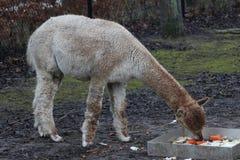 White Alpaca eating Stock Photo