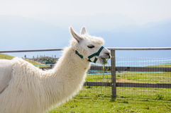 White alpaca eating Stock Images