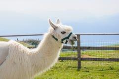 White alpaca eating Stock Images
