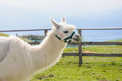 White alpaca eating Royalty Free Stock Images