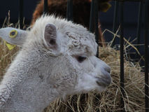 White Alpaca eating Stock Image