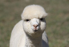 White alpaca face Royalty Free Stock Photo