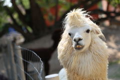 White alpaca Stock Images