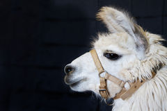 White Alpaca Head Royalty Free Stock Photo