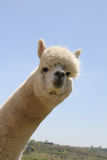 White alpaca head Royalty Free Stock Image
