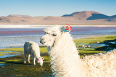 White alpaca on the Laguna Colorada, Altiplano, Bolivia. Stock Photo