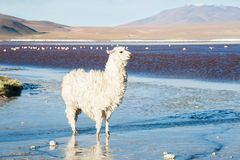 White alpaca on Laguna Colorada, Altiplano, Bolivia. White alpaca on the shore of Laguna Colorada, Altiplano, Bolivia Royalty Free Stock Photo