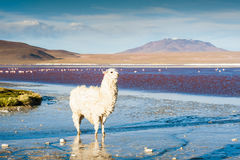 White alpaca on the Laguna Colorada, Altiplano, Bolivia. Stock Photos