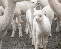 White alpaca lamb stock photo