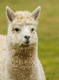 A white Alpaca looking to the right Royalty Free Stock Photo
