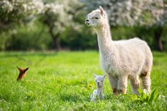 White Alpaca with offspring. South American mammal royalty free stock photo