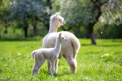 White Alpaca with offspring. South American mammal royalty free stock image