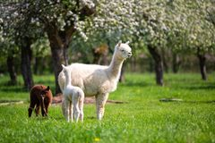 White Alpaca with offspring. South American mammal Stock Image
