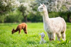 White Alpaca with offspring. South American mammal Royalty Free Stock Photos