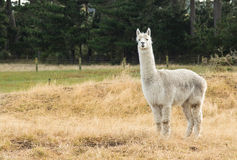 White Alpaca Stock Photography