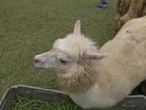 White alpaca in open zoo. Cute alpaca animal outdoor, wildlife in the nature, open zoo Royalty Free Stock Photo