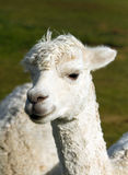 A white Alpaca portrait. An alpaca resembles a small llama in appearance and their wool is used for making knitted and woven items such as blankets, sweaters Stock Image