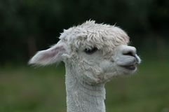 White alpaca portrait stock images