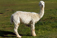 A white Alpaca in profile. An alpaca resembles a small llama in appearance and their wool is used for making knitted and woven items such as blankets, sweaters Stock Image