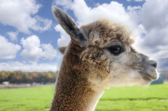 White Alpaca Stock Image
