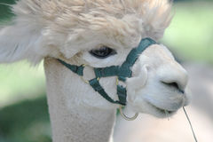 White alpaca. Stock Images