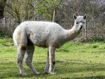 White alpaca standing in field stock photo