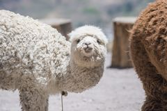 White alpaca watching. White alpaca curiously watching in Peru stock photography
