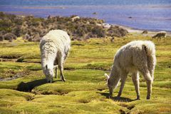 White alpacas graze in Lauca National park, circa Putre, Chile. White alpacas (Vicugna pacos) graze at the Chungara lake shore in Lauca National park circa Stock Photography