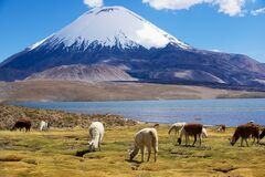 Free White Alpacas Vicugna Pacos Graze At The Chungara Lake Shore In Lauca National Park Near Putre, Chile. Royalty Free Stock Photo - 171306325