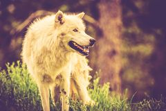 The White Alpha Wolf Stock Photography